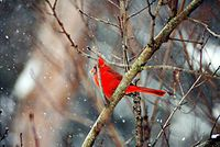 Cardinal in the Snow - ©Jenna Hatfield, 2010