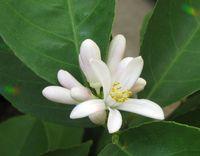 Lemon blossom green