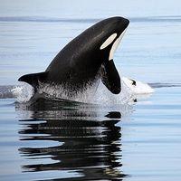 Orcas & humpbacks