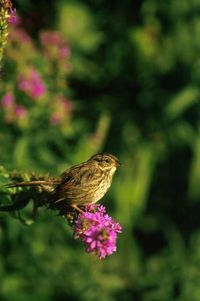 Swamp Sparrow fws