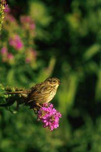 Swamp Sparrow fws